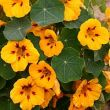 Tropaeolum majus 'Canary Yellow'