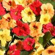 Tropaeolum majus 'Hawaiian Mix'