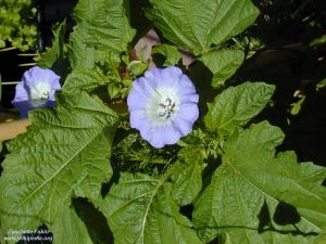 Nicandra physalodes