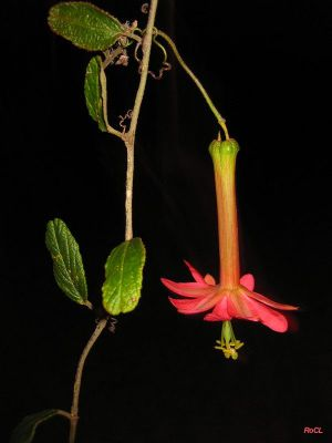 Passiflora adulterina