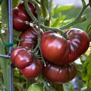 tomate tumbler gem se gew rze tomaten. Black Bedroom Furniture Sets. Home Design Ideas