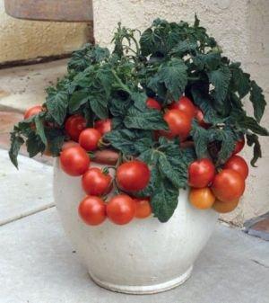 tomate tiny tim gem se gew rze tomaten. Black Bedroom Furniture Sets. Home Design Ideas
