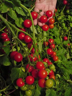 Tomate - Window Box Red