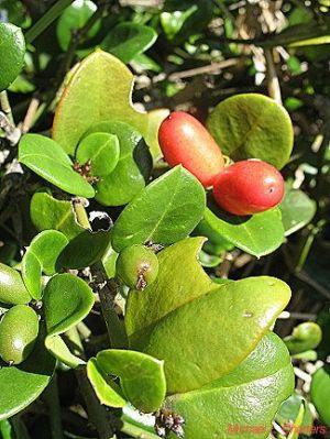 carissa bispinosa frucht nutzpflanzen c. Black Bedroom Furniture Sets. Home Design Ideas